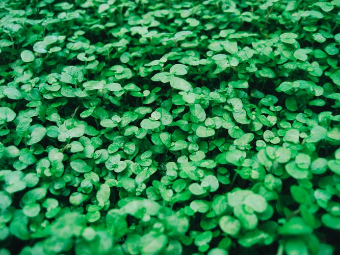 St Patricks day springtime plants