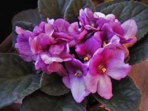African Violets are Great House Plants